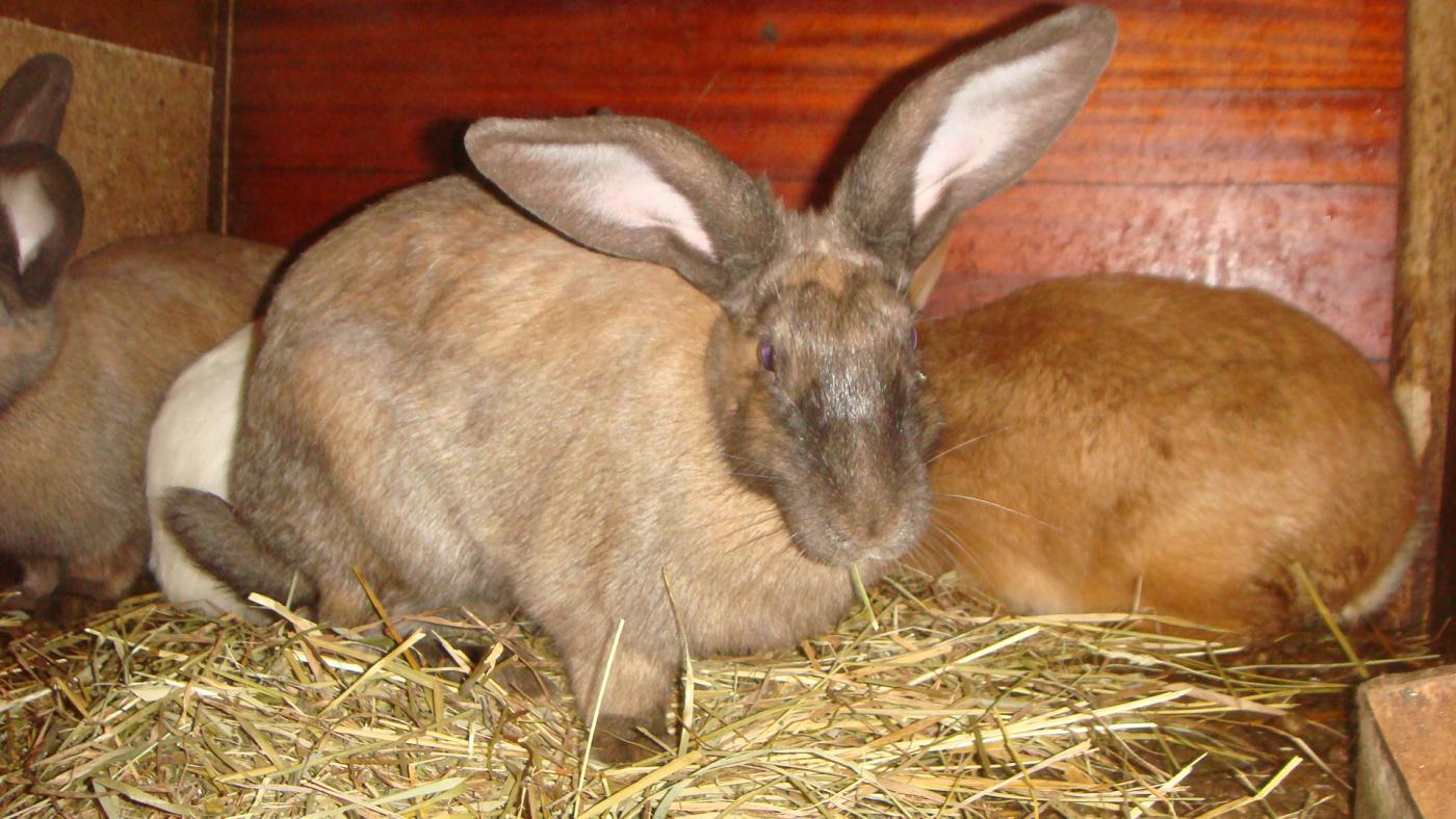 Как узнать беременность крольчихи