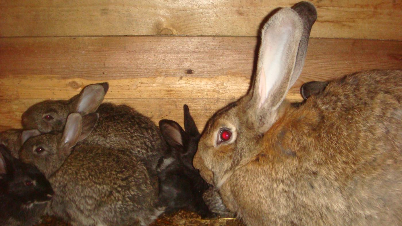 Кролики. как ухаживать за кроликами в домашних условиях