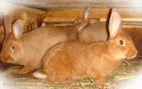 Кролики породы Новозеландский красный НЗК