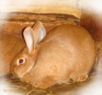 Кролик Новозеландский красный НЗК