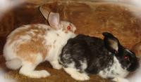 Кролики от пары разных пород