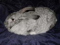 Кролик Советская шиншила