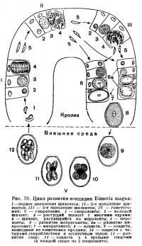 Кокцидиоз