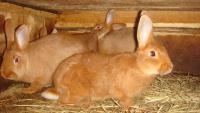 Новозеландский кролик-немного истории