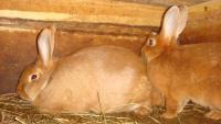 Новозеландский кролик-физические данные...