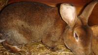 Домашний кролик линяет