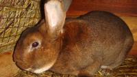 Глисты у кролика