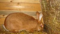 Новозеландские кролики-домашние питомцы...