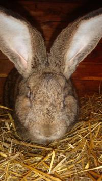 Осмотр ушей у кролика