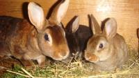 Капрофагия у кроликов