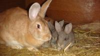 Уход за крольчатами после отсадки
